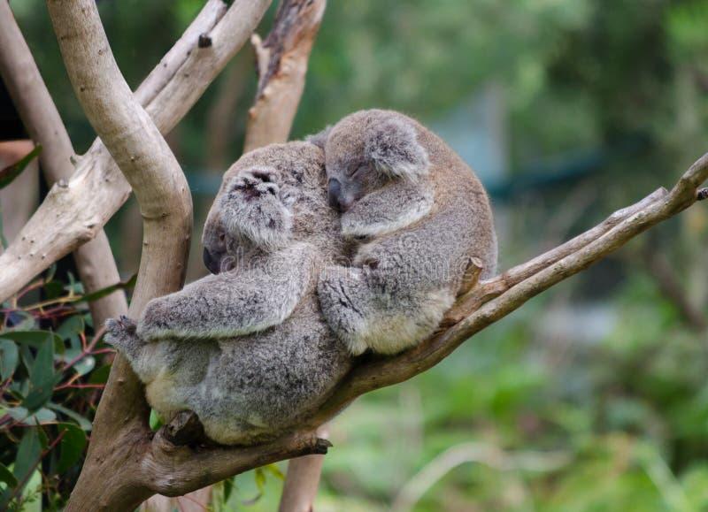 Koala και koala μωρών στοκ εικόνα