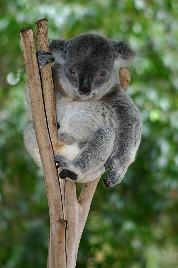 Download Koala νυσταλέο στοκ εικόνα. εικόνα από χαλαρωμένος, δέντρο - 99999