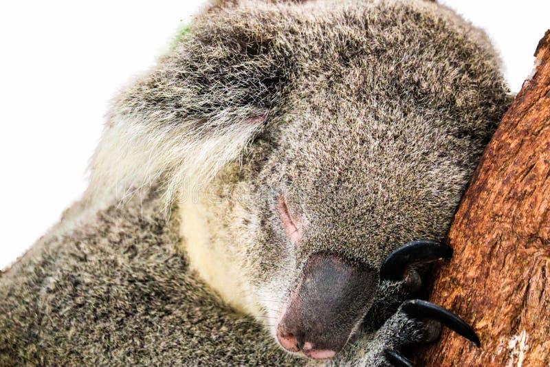 Koala που απομονώνεται στο άσπρο υπόβαθρο στοκ εικόνες με δικαίωμα ελεύθερης χρήσης