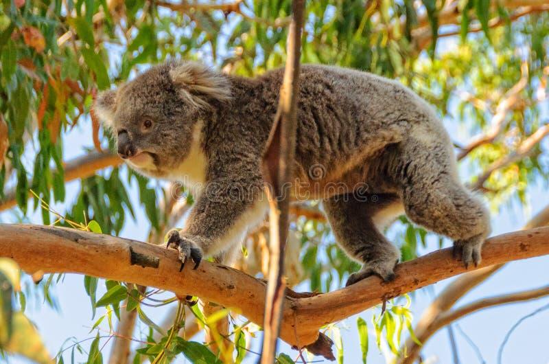 Koala που περπατά σε έναν κλάδο - Cowes στοκ εικόνα
