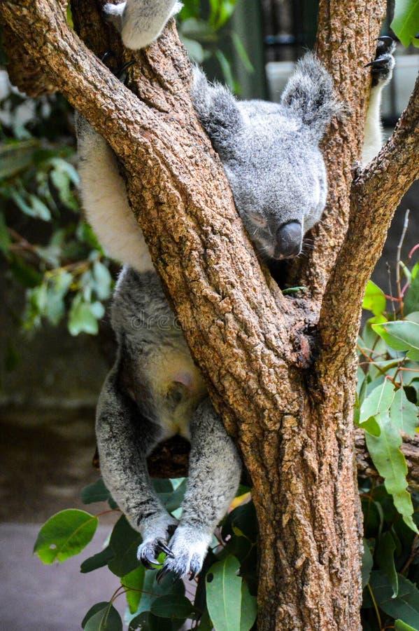 Koala σε ένα δέντρο στοκ φωτογραφία με δικαίωμα ελεύθερης χρήσης