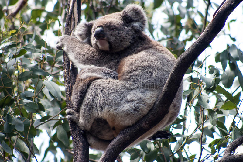 Koala στο νησί καγκουρό στοκ φωτογραφίες