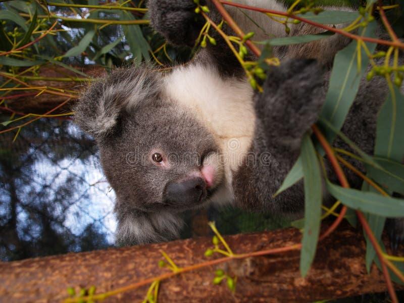 koala της Αυστραλίας στοκ φωτογραφία