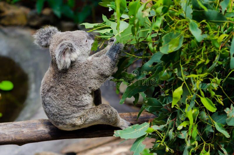 Koala есть листья евкалипта стоковое изображение rf