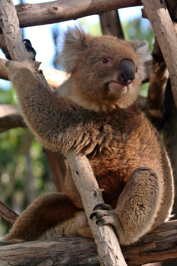 koala медведя стоковые фотографии rf