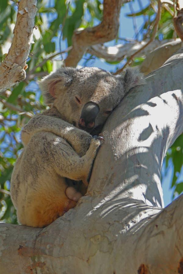koala fotografering för bildbyråer