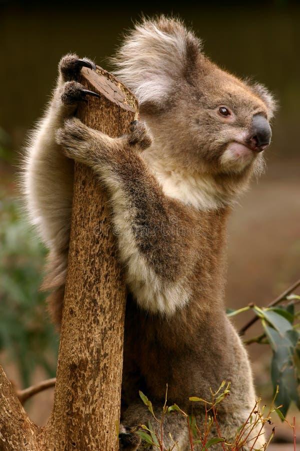 Koala. Sitting on an eucalyptus tree in Australia royalty free stock photography
