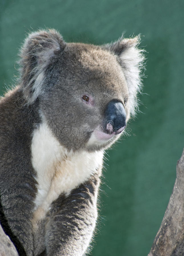 koala стоковые изображения rf