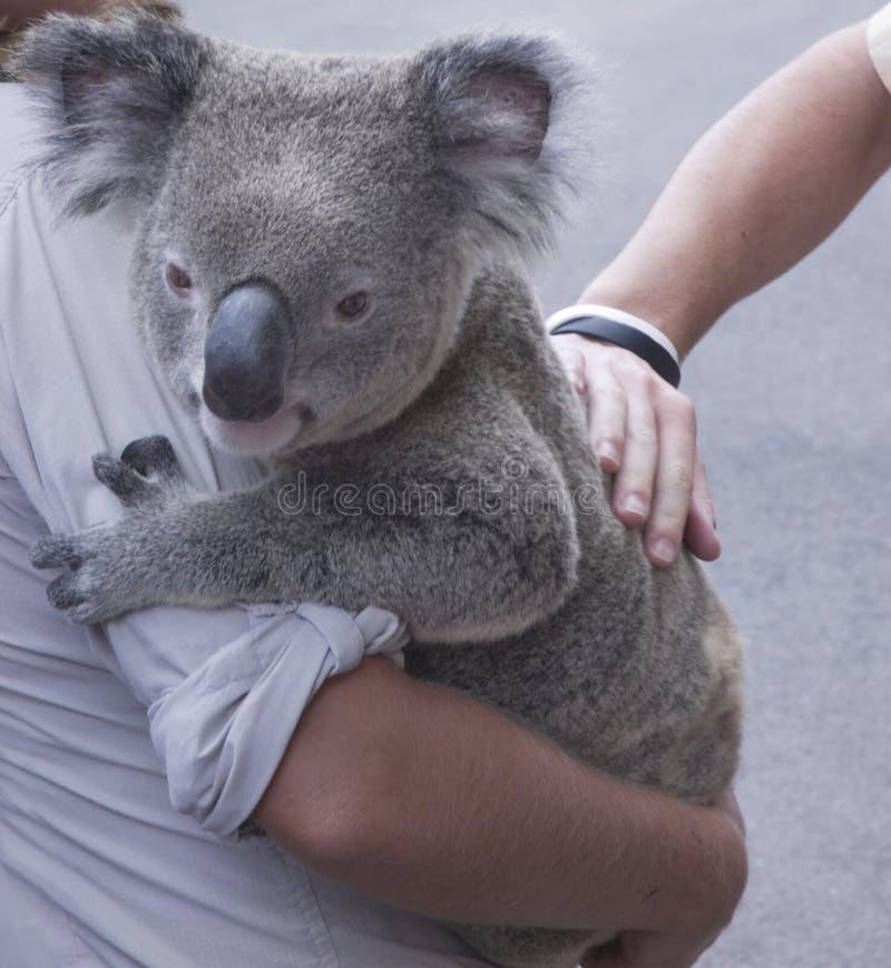 Koala. Getting a pat sitting on arm stock image