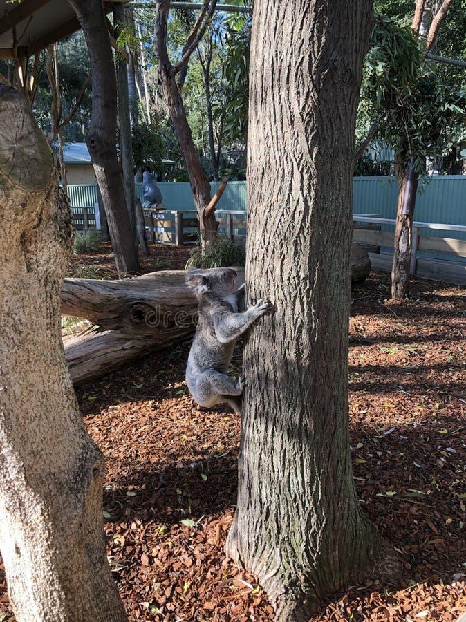 koala imagem de stock royalty free