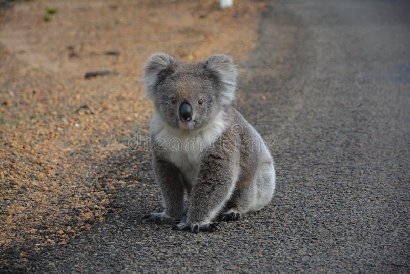 koala стоковая фотография