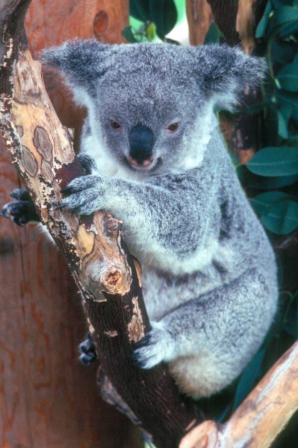 koala стоковые изображения