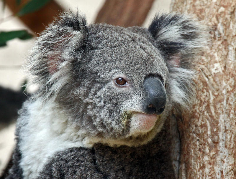 Koala royalty-vrije stock fotografie