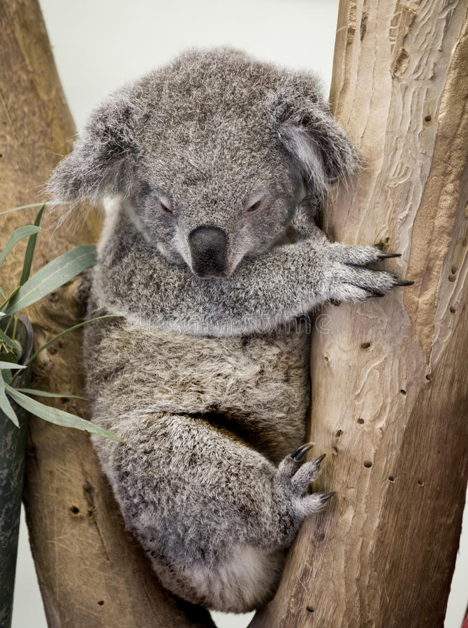 Download Koala stock image. Image of travel, nourish, marsupial - 15165029
