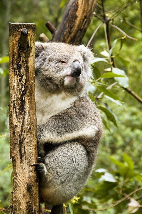 Download Koala stock photo. Image of white, mammal, australia - 16180314