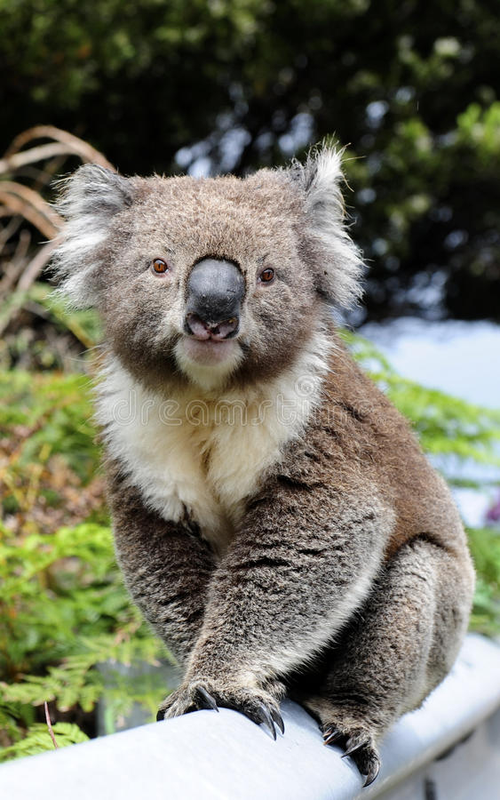 Koala lizenzfreies stockfoto
