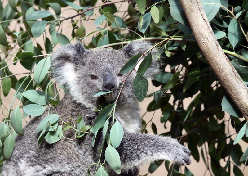 Koala stock fotografie