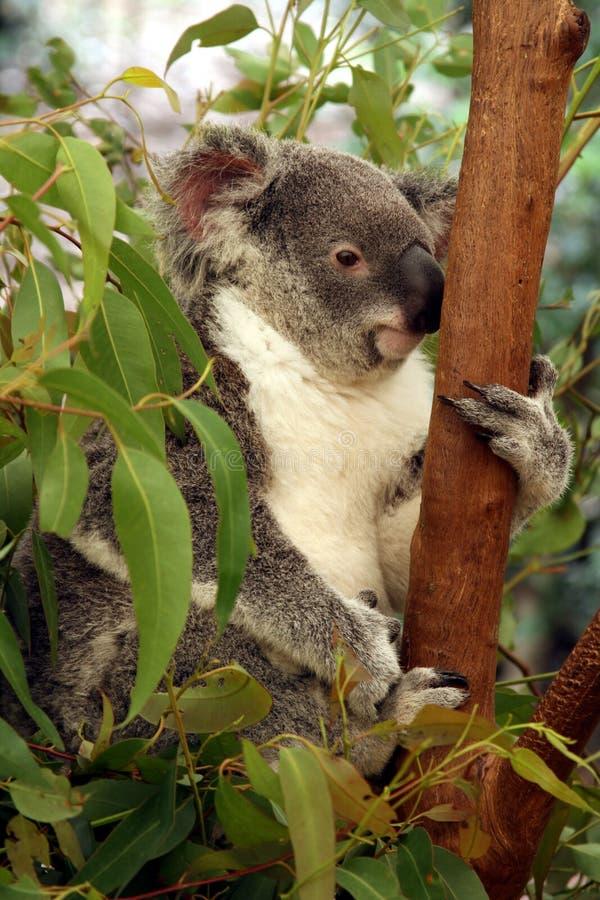 koala arkivfoto
