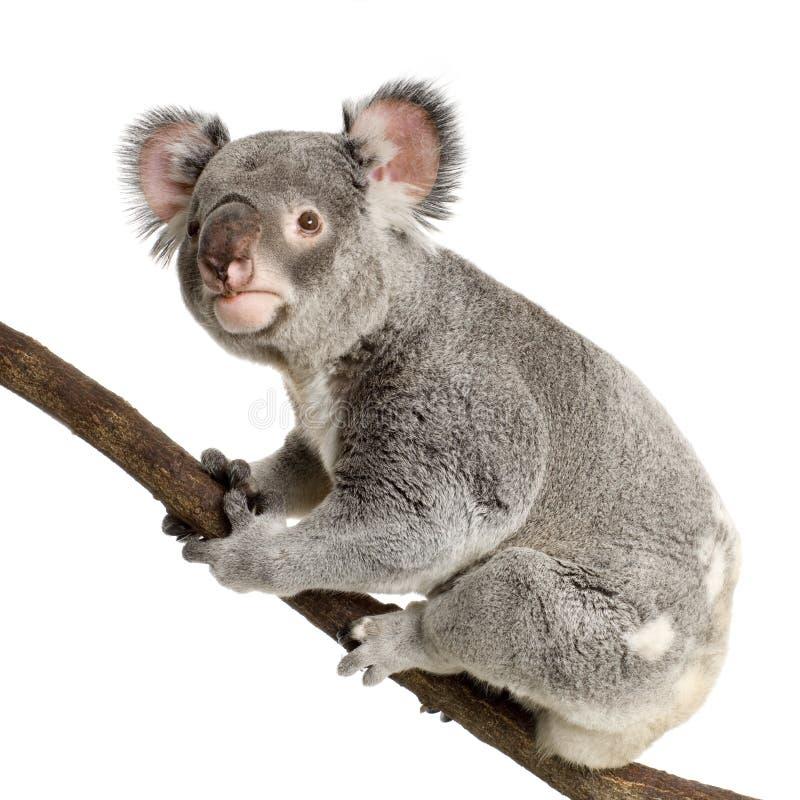 Koala imagen de archivo libre de regalías