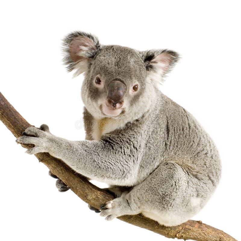 Koala photo stock