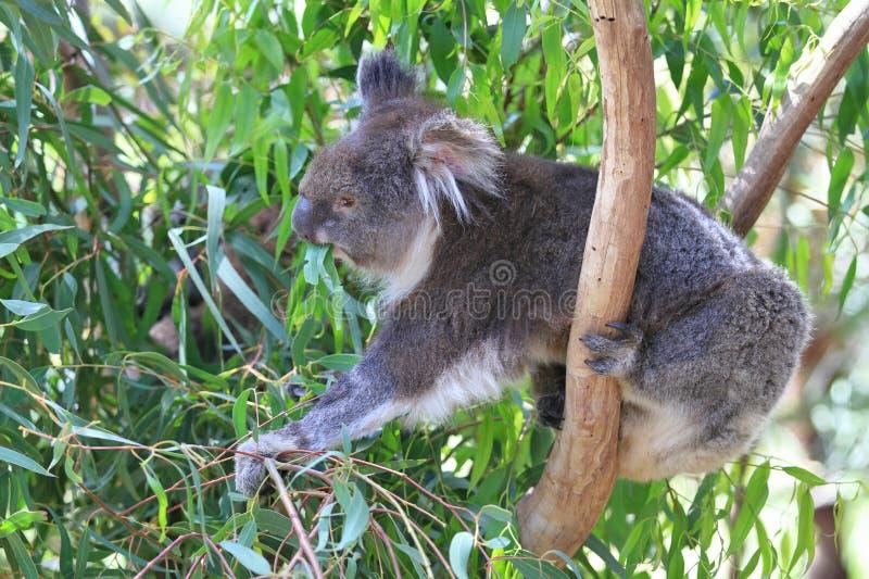 Download Koala stock photo. Image of ears, white, eucalyptus, under - 29530398