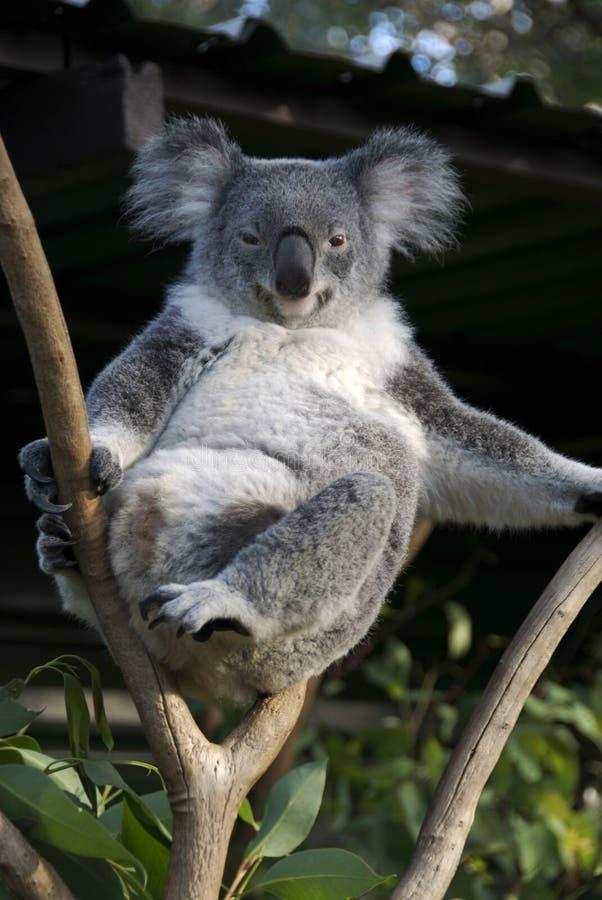 Koala imagens de stock