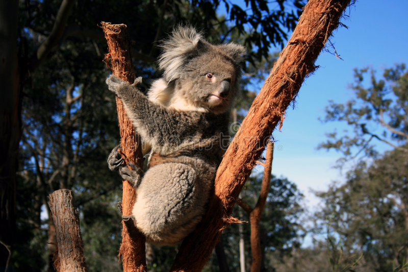Koala photos stock