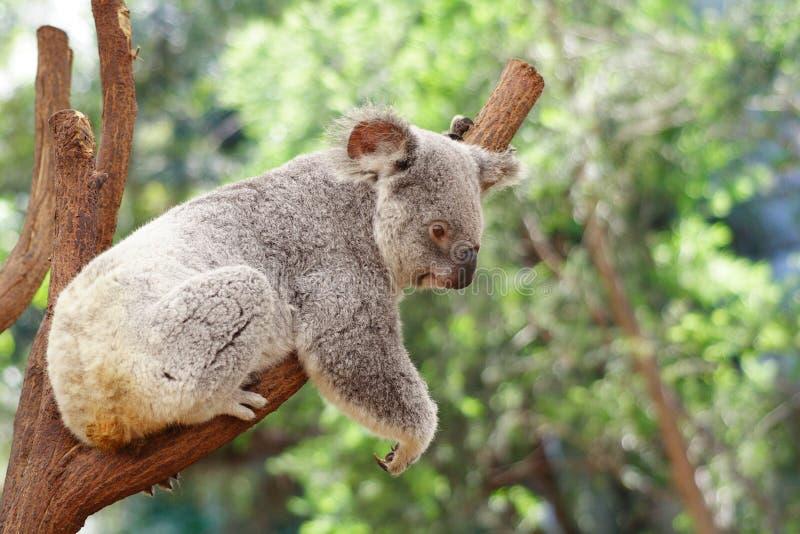 Koala. Australia Queensland Farm Cute royalty free stock photos