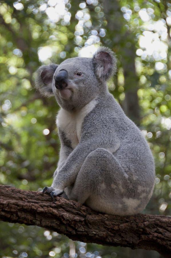 koala 4 fotografering för bildbyråer