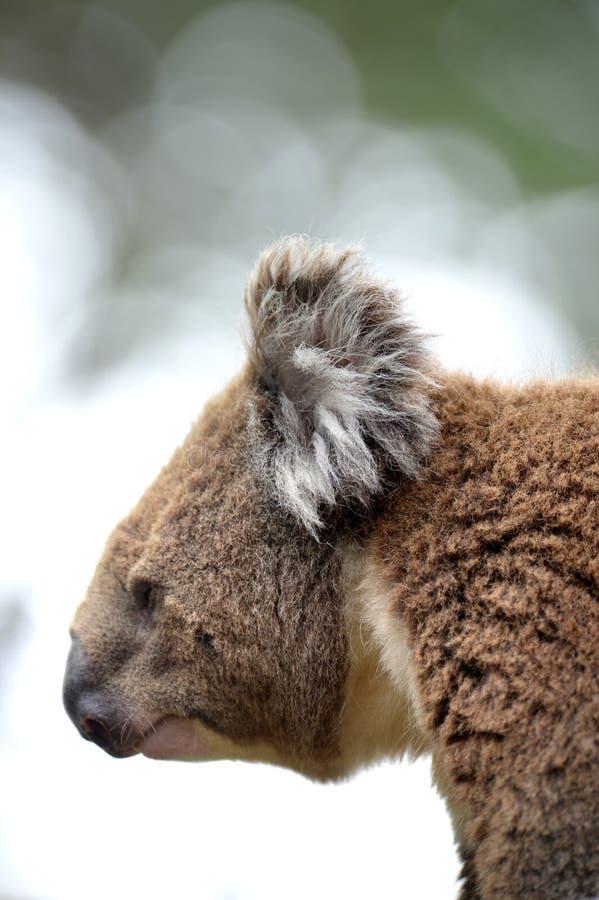 Download Koala стоковое изображение. изображение насчитывающей серо - 40588931