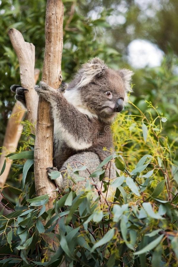 koala imagens de stock royalty free