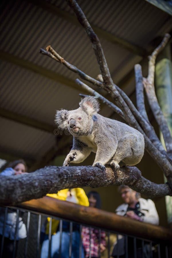 koala fotografia de stock