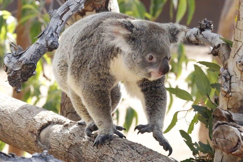koala zdjęcia royalty free