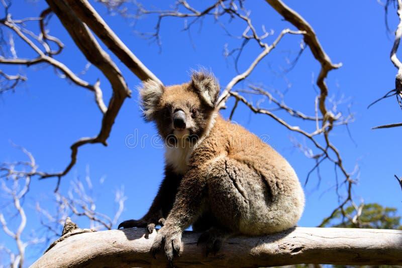 koala foto de stock