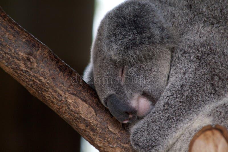 koala images stock