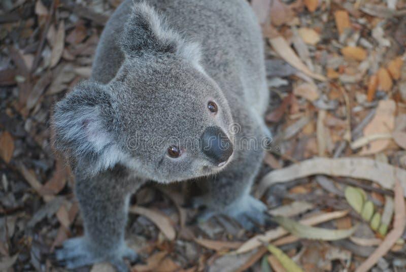 koala imagem de stock