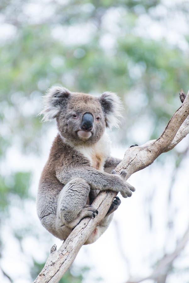 koala fotografie stock