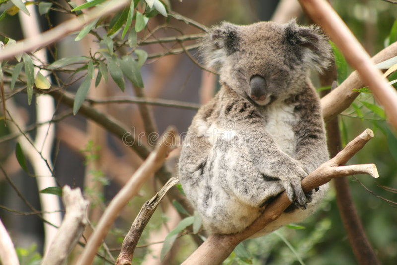 Koala stockfotos