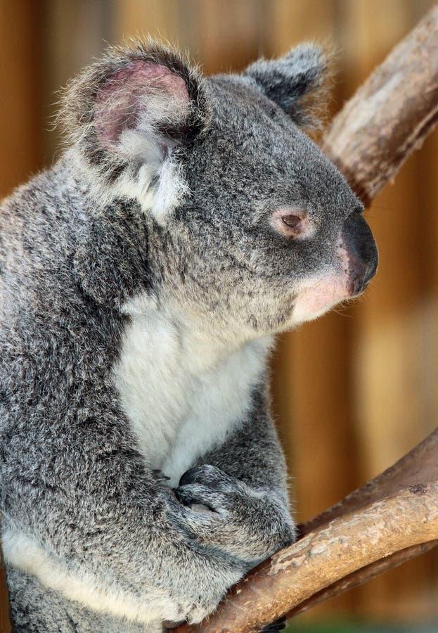 koala fotos de stock