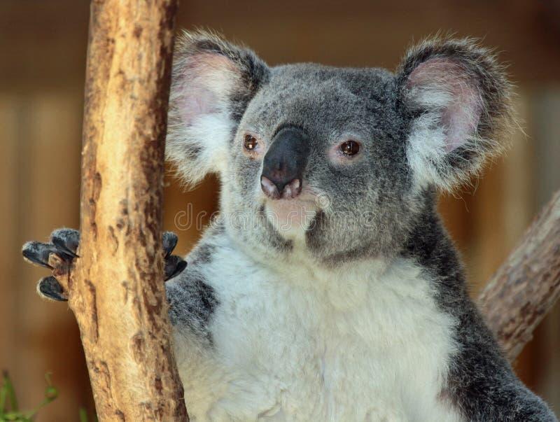 koala foto de stock royalty free