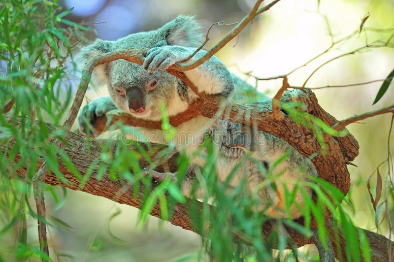 Download Koala stock photo. Image of eucalypt, koala, ecological - 7660146