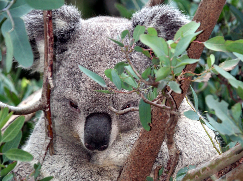 Koala. Close Up Koala Sitting In Eucalyptus Tree royalty free stock images