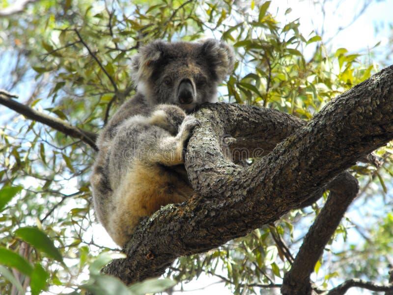 Download Koala stockbild. Bild von nave, baum, insel, australien - 9082703