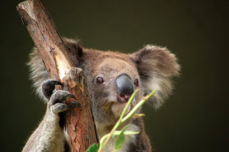 Koala fotografía de archivo