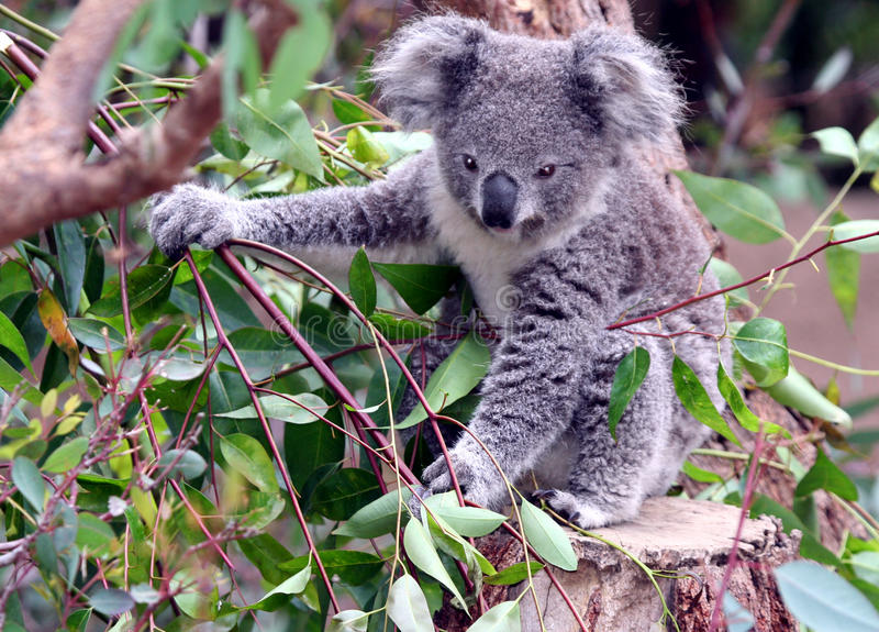 Koala. Young Koala Sitting In A Tree royalty free stock images