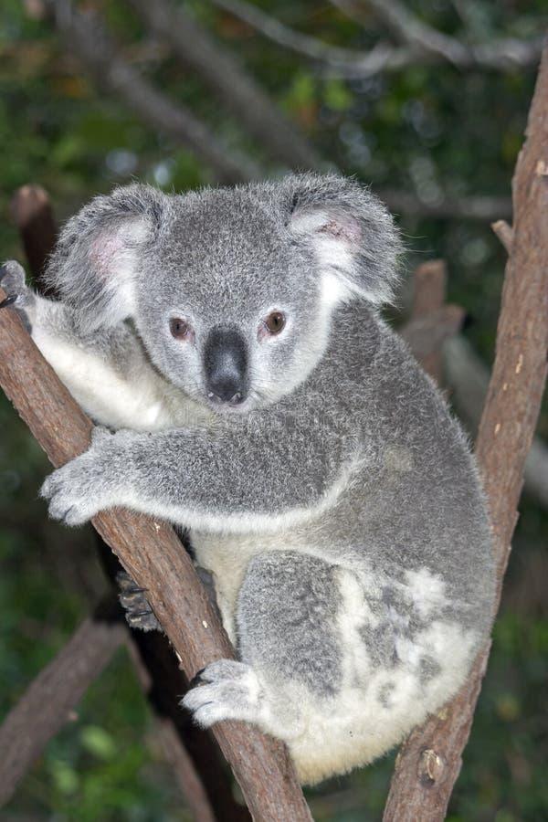 Koala in albero immagini stock