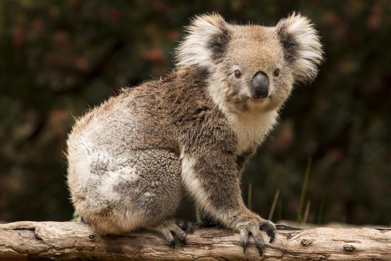 Koala, Austrália imagens de stock