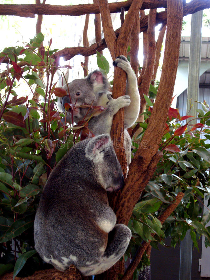 Koala Austrália imagens de stock