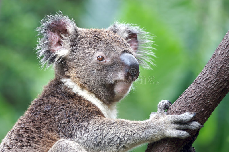 Koala in Australia stock photography