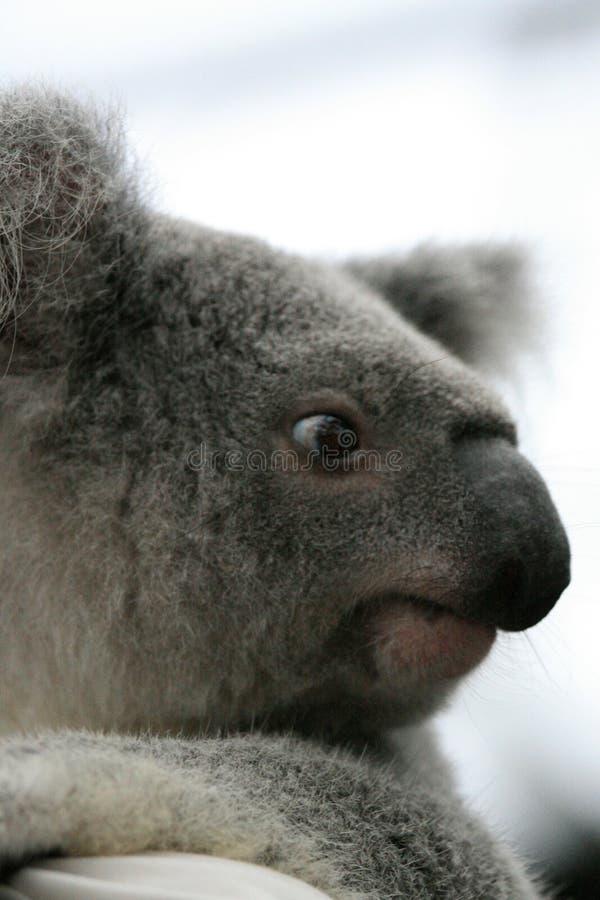 Koala, Australia immagini stock libere da diritti
